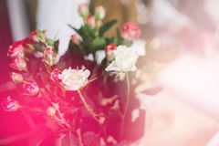 Beautiful cream and pink roses in vase, light toning. Beautiful cream and pink roses in vase Stock Images