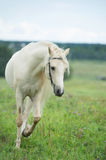 Beautiful cream pony stallion running in field. cloudy day Royalty Free Stock Photos