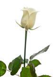 Beautiful cream rose Stock Image