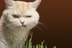 Beautiful cream tabby cat is eating grass, on a brown background royalty free stock photo