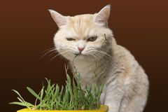 Beautiful cream tabby cat is eating grass, on a brown background royalty free stock photography