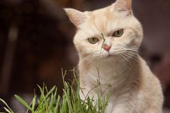 Beautiful cream tabby cat is eating grass, on a brown background stock image