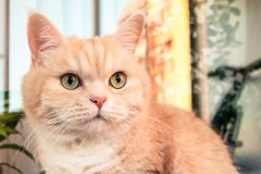 Beautiful cream tabby cat with green eyes closeup royalty free stock image