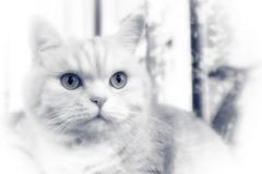 Beautiful cream tabby cat with green eyes closeup, BW royalty free stock images