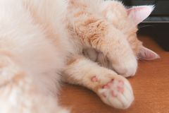 Beautiful cream tabby cat sleeping on the table covering his face with his paws stock photos
