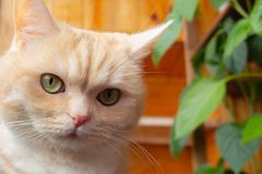 Beautiful creamy tabby cat close-up against a wooden wall stock images