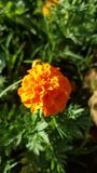 Beautiful Creations. Afrikaner flowers_orange and yellow Royalty Free Stock Images