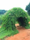 A beautiful creeper plant arch. A beautiful creeper plant arch in the bangalore palace park,  tamilnadu, india Royalty Free Stock Photo
