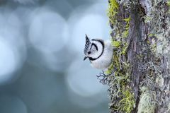 European crested tit Lophophanes cristatus. Beautiful crested tit Lophophanes cristatus perched on a tree in Swiss Alps stock photo