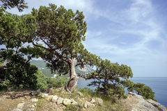 Beautiful Crimean juniper tree on  hillside near the Black sea. Royalty Free Stock Images