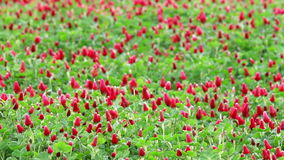 Beautiful Crimson clover flower stock video