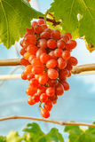 Beautiful Crimson seedless grapes Stock Photography