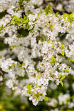 Beautiful crisp white blossoming cherry tree Stock Images