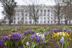 Beautiful  crocus flower. Early spring flowers stock photos