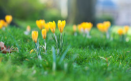 Beautiful crocus flowers Stock Photos