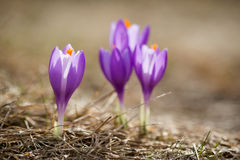 Beautiful crocus flowers in Beskidy mountains Royalty Free Stock Image