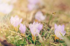 Beautiful crocus flowers blossom in spring Stock Photo