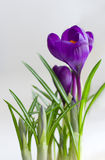 Beautiful Crocus flowers closeup Royalty Free Stock Image