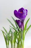 Beautiful Crocus flowers closeup Royalty Free Stock Image