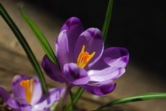 Beautiful crocus flowers. On a dark background Royalty Free Stock Photography