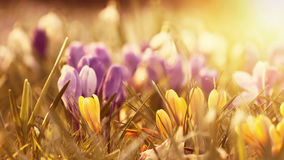 Beautiful crocus flowers in the sunset Royalty Free Stock Photo