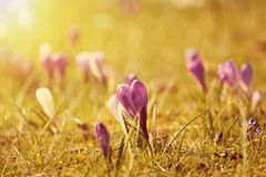 Beautiful crocus flowers in the sunset Royalty Free Stock Photos