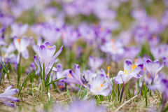 Beautiful crocus flowers in Tatry mountains Stock Photography