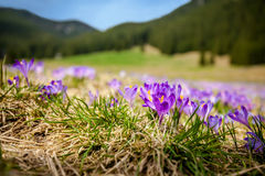 Beautiful crocus flowers in Tatry stock photography
