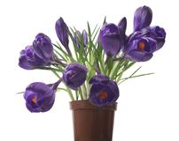 Beautiful crocus on white background - fresh spring flowers. Violet crocus flowers bouquet . selective focus Stock Photos