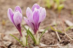 Beautiful crocuses. Two beautiful spring of colorful crocuses royalty free stock photo