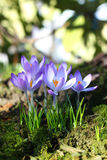 Beautiful crocuses blossom Stock Images