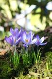 Beautiful crocuses blossom Stock Images