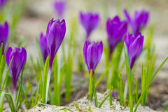 Beautiful crocuses Royalty Free Stock Images
