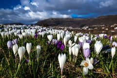 Spring Landscape with Many Crocuses in The Field stock photos