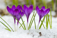 Beautiful  crocuses Royalty Free Stock Photos