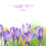 Beautiful crocusses Stock Image