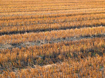 Beautiful crop-field (full size) Royalty Free Stock Images