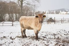 Beautiful crossbreed  young cow in winter during snowing. The breed is Salers and Charolais Stock Photography