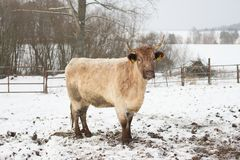 Beautiful crossbreed  young cow in winter during snowing. The breed is Salers and Charolais Royalty Free Stock Photo