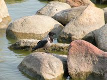 Beautiful crow bird on big stone, Lithuania Royalty Free Stock Images