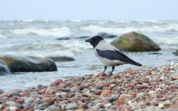Beautiful crow bird  resting on stones, Lithuania Royalty Free Stock Photos