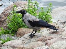 Beautiful crow bird resting on stones, Lithuania royalty free stock photos