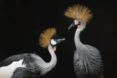 Free Beautiful Crown Crane Royalty Free Stock Image - 134009756