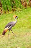 Beautiful Crowned Crane Bird Stock Photo