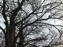 Beautiful crowns of trees without leaves in winter, birds on tree crowns.  royalty free stock photography