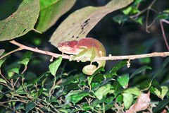 Beautiful Cryptic or blue-legged Chameleon (Calumma crypticum) Stock Image