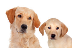 Beautiful cub Golden Retriever with his father Royalty Free Stock Images