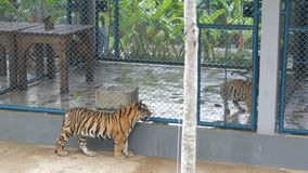 Beautiful cubs in a cage, past them passes another tiger and looks around stock footage