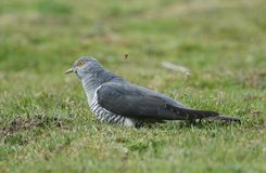 A stunning Cuckoo Cuculus canorus searching on the ground in a meadow for food. A beautiful Cuckoo Cuculus canorus searching on the ground in a meadow for food royalty free stock photography