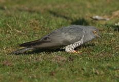 A stunning Cuckoo Cuculus canorus searching on the ground in a meadow for food. A beautiful Cuckoo Cuculus canorus searching on the ground in a meadow for food royalty free stock image